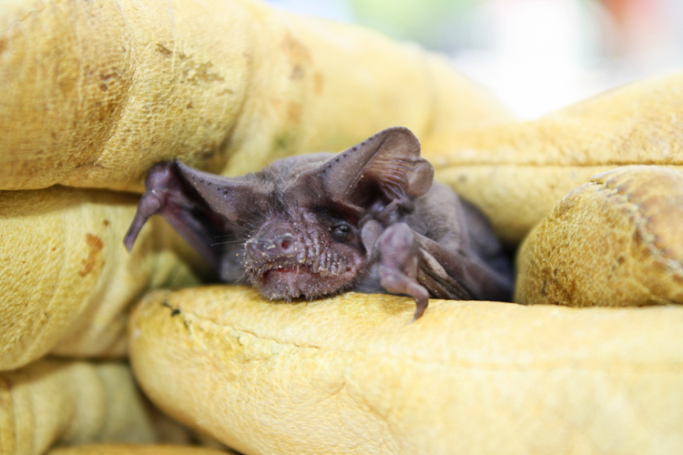 bat united states fish wildlife
