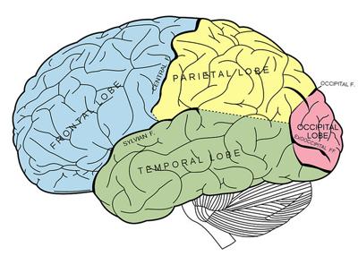 human brain organ tissue anatomy charles whitman tumor mass lobe cortex