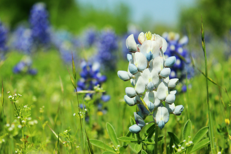 white pink yellow bluebonnet color variations