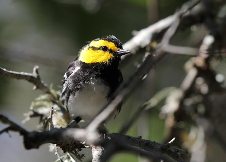 golden cheeked warbler songbird bird birdwatching endangered species protected