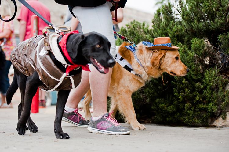 aviator dog cowboy woody golden retriever black labrador