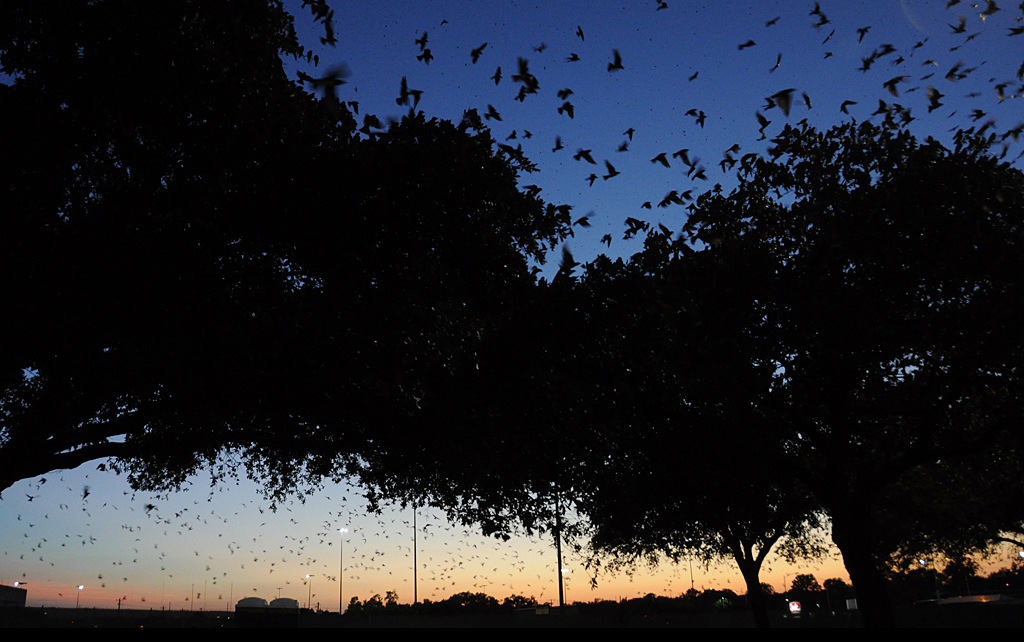 Austin's Purple Martins Are Doing The Most Amazing Thing Right Now