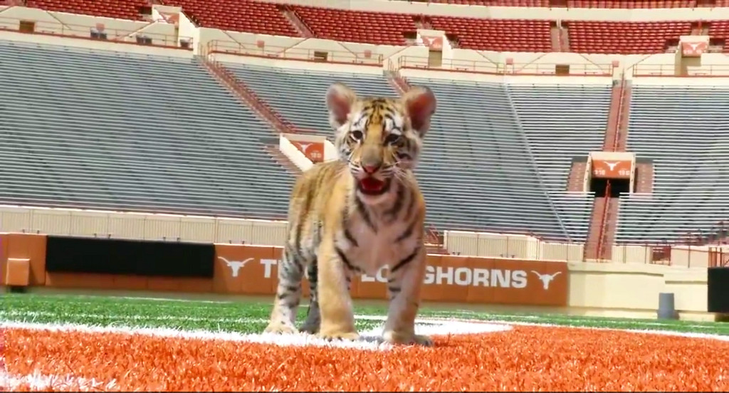 Real Bengal Tigers Terrorize Longhorns' Locker Room With Unrelenting Cuteness