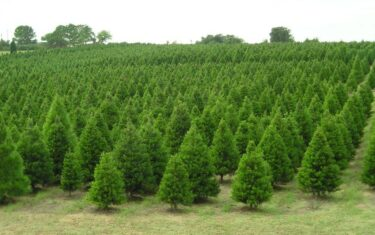 Where To Cut Your Own Christmas Tree Near Austin
