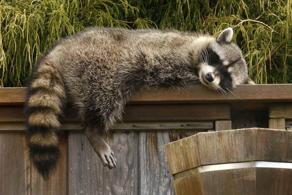 Napping Raccoon Becomes Subject of Special Rescue Mission by AFD