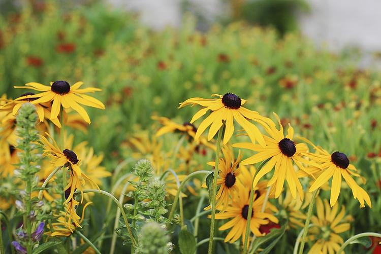 black eyed susan greenthread daisy