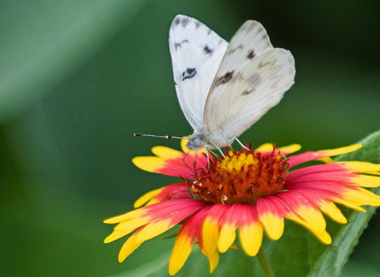 indian blanket firewheel butterfly spring Texas