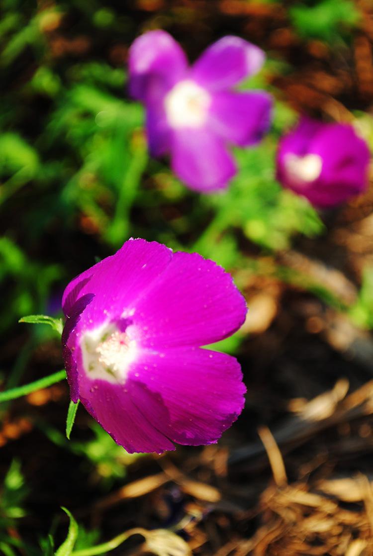 winecup purple poppy mallow