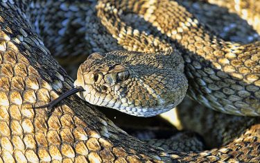 Rattlesnake Sightings Soar In North Austin