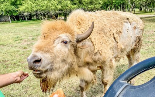 Exotic Animals in Austin! Go Inside The South Austin Ranch Home to Bison, Camel, Alpaca, and More