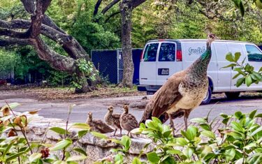 See the Baby Peacocks of Mattie's at Green Pastures in Bouldin Creek
