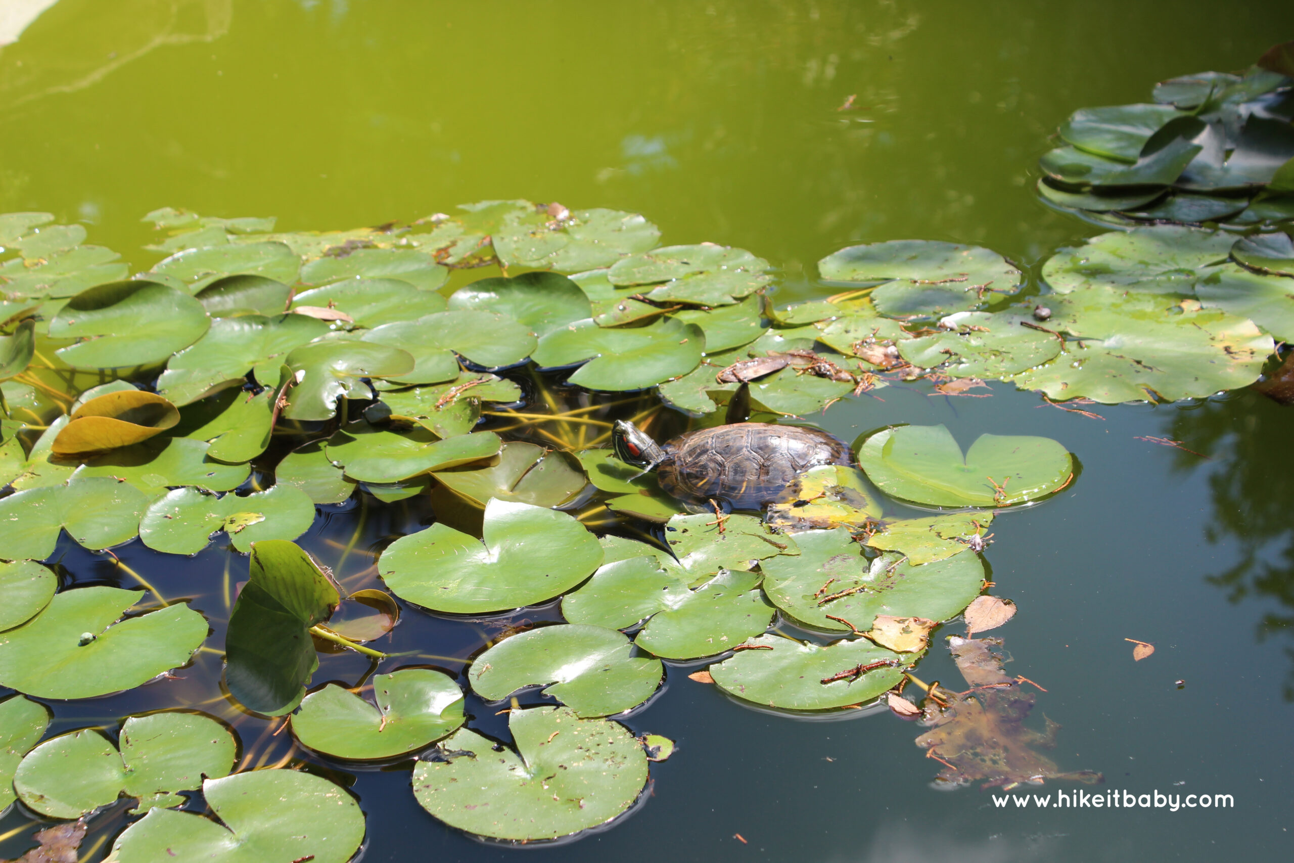 Mayfield Park Turtle
