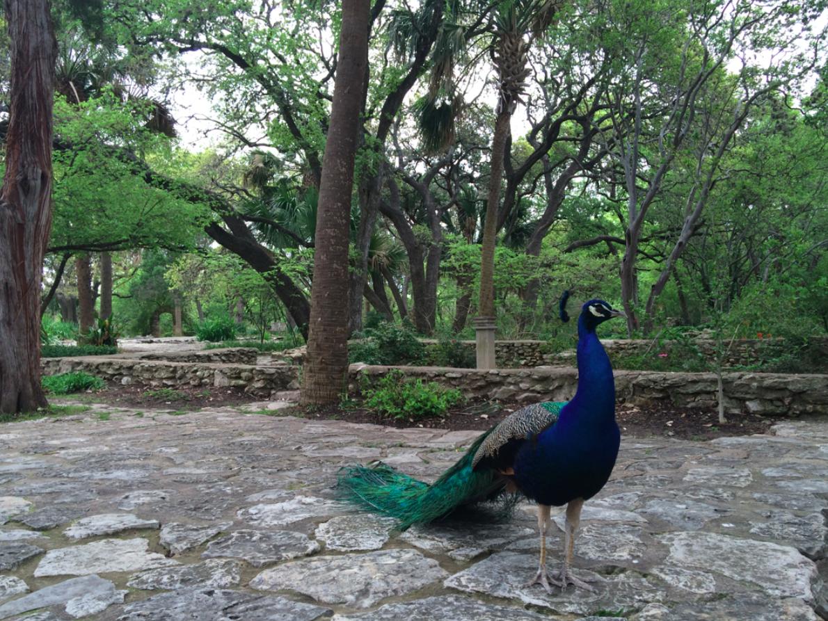 Mayfield Park peacocks Austin