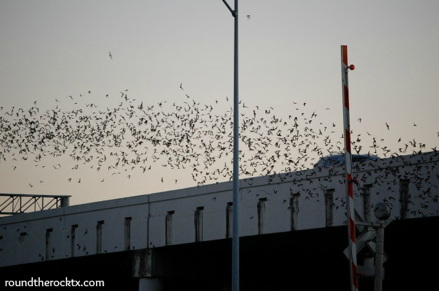 bats fly out from under a bridge at dusk